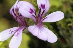 Malva bloem Royalty-vrije Stock Foto