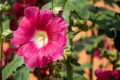 Malva bloem rode kleur Stock Foto