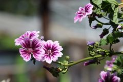 Malva blooms in pink and purple. Perennial Malva blooms Stock Photo