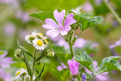 Malva and Chamomile in the Meadow Royalty Free Stock Photos