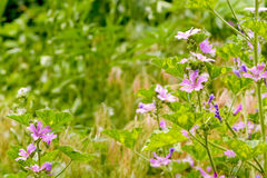 Malva and chamomile in the Meadow Stock Images