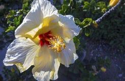 Malva de florescência Rose Springtime Southern California da flor do hibiscus fotografia de stock royalty free