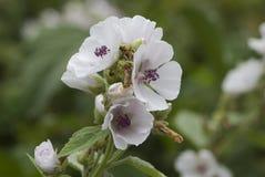 Malva de pantano (officinalis) del althaea 06 fotos de archivo libres de regalías