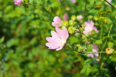 Malva del rosa salvaje imagen de archivo libre de regalías