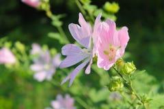 Malva di rosa selvaggio Fotografia Stock