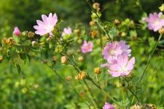 Malva di rosa selvaggio Fotografia Stock Libera da Diritti