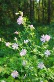 Malva di rosa selvaggio Immagini Stock Libere da Diritti