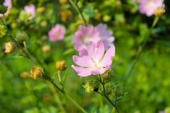 Malva di rosa selvaggio Immagine Stock