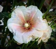 Malva för vit blomma Arkivbild