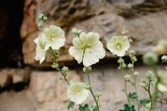 Malva floreciente Flores hermosas de la malva amarilla en el fondo de rocas foto de archivo libre de regalías
