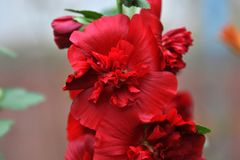 Malva flower double red Royalty Free Stock Photography