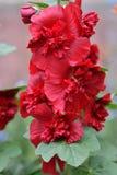 Malva flower double red Royalty Free Stock Photo
