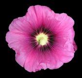 Malva flower isolated Royalty Free Stock Image