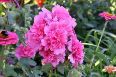 Malva Flower Pink fotografia de stock royalty free