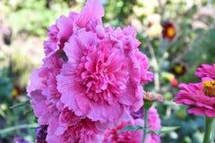 Malva Flower Pink imagen de archivo libre de regalías