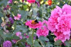 Malva Flower Pink foto de stock