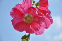 Malva Flower Pink color. In spring morning Stock Photos