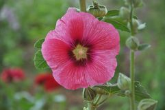 Malva Flower Pink color. In spring morning Stock Image