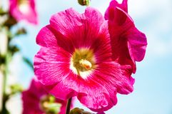 Malva flower red color. In hot summer day Royalty Free Stock Image