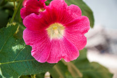 Malva flower red color. In hot summer day Stock Image