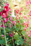 Malva flowers. Malva (Alcea rosea hollyhock) flowers in a garden. Gorgeous floral background for holidays, beauty and nature Royalty Free Stock Photography