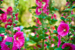 Malva flowers. Malva (Alcea rosea hollyhock) flowers in a garden. Gorgeous floral background for holidays, beauty and nature Stock Images