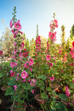 Malva flowers. Malva (Alcea rosea hollyhock) flowers in a garden. Gorgeous floral background for holidays, beauty and nature Royalty Free Stock Images