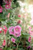 Malva flowers. Malva (Alcea rosea hollyhock) flowers in a garden. Gorgeous floral background for holidays, beauty and nature Stock Photos