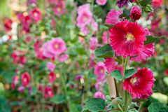 Malva flowers. Malva (Alcea rosea hollyhock) flowers in a garden. Gorgeous floral background for holidays, beauty and nature Royalty Free Stock Photo
