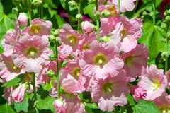 Malva is a genus of herbaceous annual, biennial and perennial pl. Ants of the Malvaceae family, one of the most closely related genera in the family, with a Stock Image