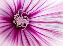 Malva hispanica menchii dziki kwiat Zdjęcie Stock