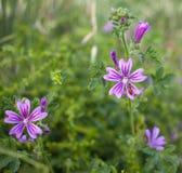 Malva kwiaty z truteń komarnicą Obraz Royalty Free