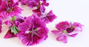 Malva mauritiana isolated on white background. Medicinal herb. The concept of healthy nutrition.Malva mauritiana have. Malva mauritiana isolated on white Stock Photo