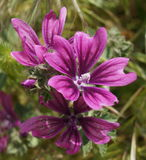 Malva neglecta, common mallow flowers Stock Image