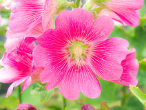 Malva. Pink malva Silvestris. Mallows beatuy Stock Photo