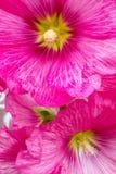 Malva red flower. Gorgeous Malva or Alcea rosea or hollyhock red flower background Stock Images