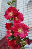 Malva with red flowers and a yellow center. On a branch with green leaves Stock Images