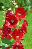 Malva roja floreciente contra la hierba verde Foto de archivo