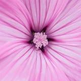 Malva rosa Immagini Stock