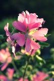 Malva rosa cor-de-rosa do alcea em um fim escuro do fundo acima Foto de Stock