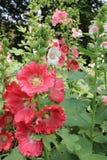 Malva rosa no jardim Fotografia de Stock
