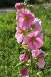 Malva rosada Fotografía de archivo