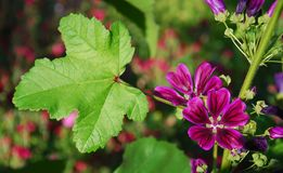 Malva silvestris. The image shows the flower malva silvestris Stock Photography