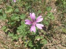 Malva Silvestris Flores de la malva Foto de archivo