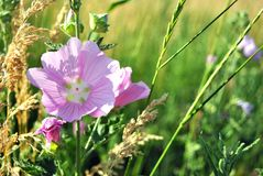 Malva sylvest common mallow, cheeses. High mallow and tall mallow flowers, grass background, soft bokeh Stock Photos