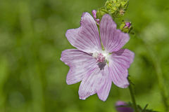 Malva sylvestris Stock Photos