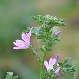 Malva sylvestris. Detail of Malva sylvestris flower on a meadow Royalty Free Stock Photos