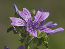 Malva sylvestris. Flower of Malva sylvestris (Common Mallow Stock Photography