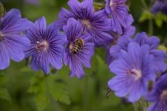 Malva sylvestris ist Spezies der Malvenklasse Malva in der Familie von Malvaceae und wird die als Art Spezies für betrachtet stockbilder