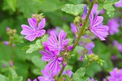 Malva sylvestris, a medicinal plant. Purple malva sylvestris, a medicinal plant Stock Photo